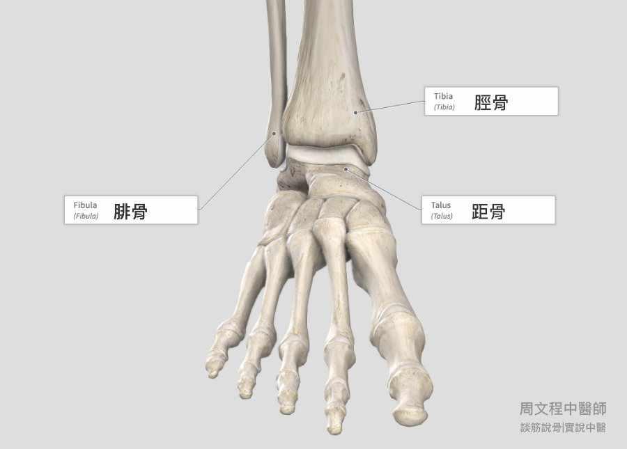 腳踝的結構我們由內向外講起, 大家常說的踝關節是由脛骨(tibia)、腓骨(fibula)及距骨(talus)所組成,也叫做距骨小腿關節(talocrural joint); 脛骨與腓骨組成遠端脛腓關節或稱脛腓聯合(distal tibiofibular joint, tibiofibular syndesmosis) ; 距骨下端與腳跟的跟骨間則形成距下關節(subtalar joint)。