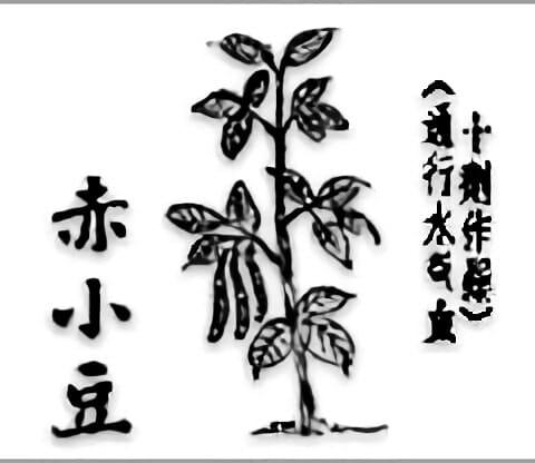 古籍中的赤小豆