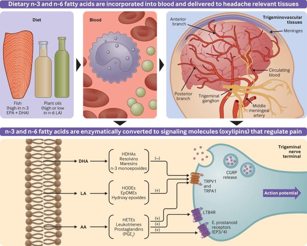 偏頭痛成因,Omega-3 與 Omega-6  脂肪酸與偏頭痛的關係